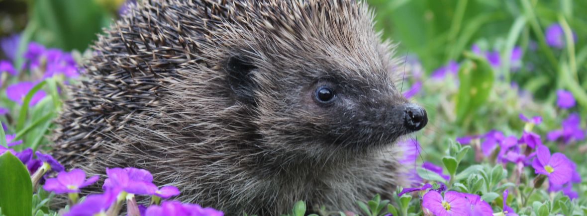 Spring hedgehog, wildlife garden