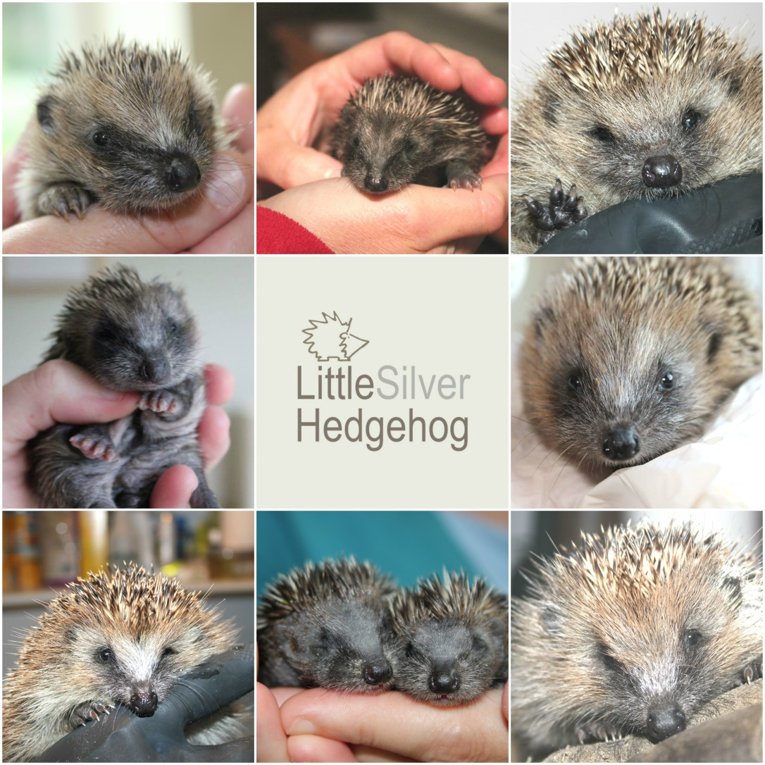 8 rescued hedgehogs Little Silver Hedgehog.jpg