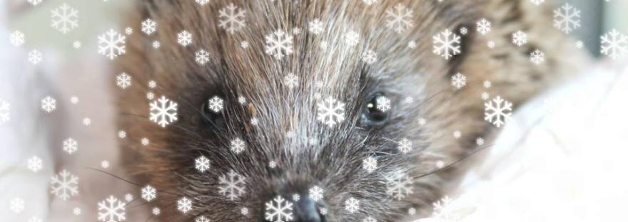 hedgehog in snow