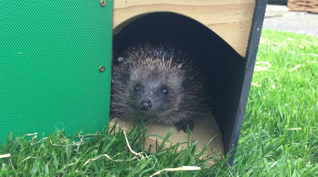 Are hedgehogs endangered and will they become extinct?