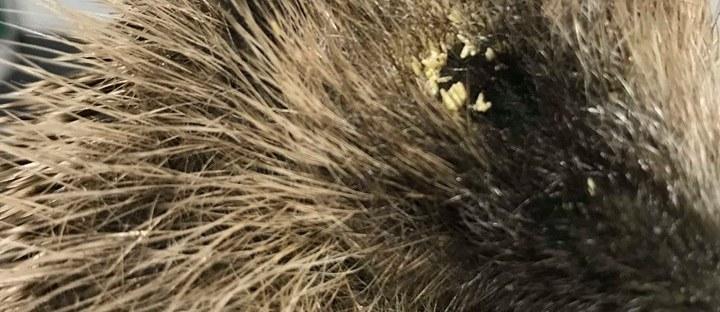 Hedgehog with fly strike in eyes