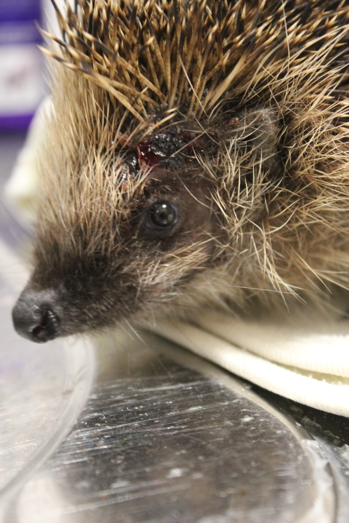 Wounded hedgehog with dog bite wound