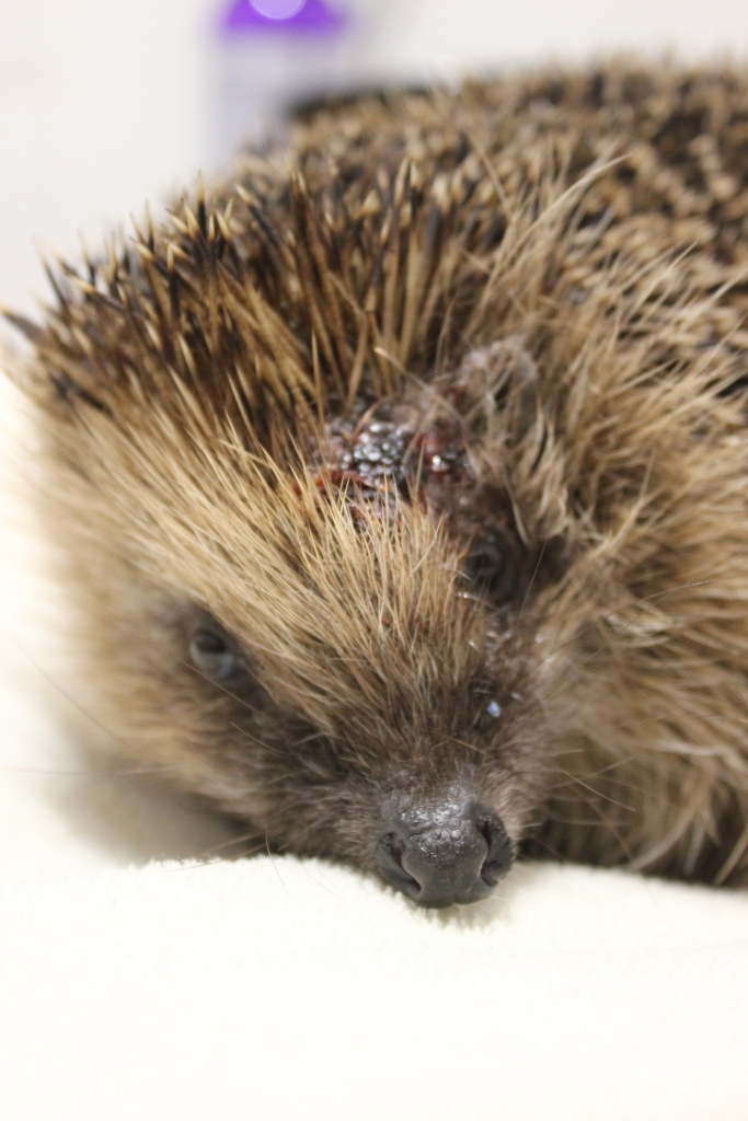 Injured hedgehog with head wound from dog attack