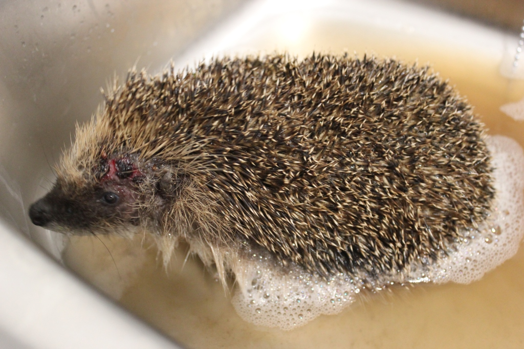 Hedgehog bathing as part of wound and injury treatment