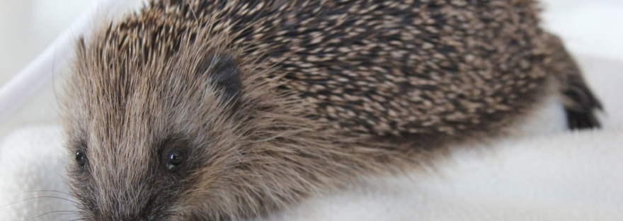 Hedgehog rescue and rehabilitation